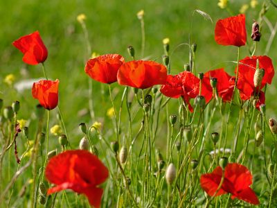 poppy field 1.jpg