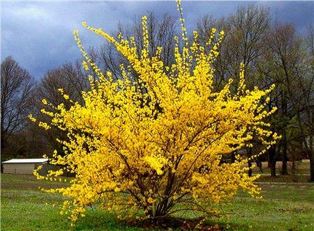 x-forsythia-lynwood-gold2.jpg