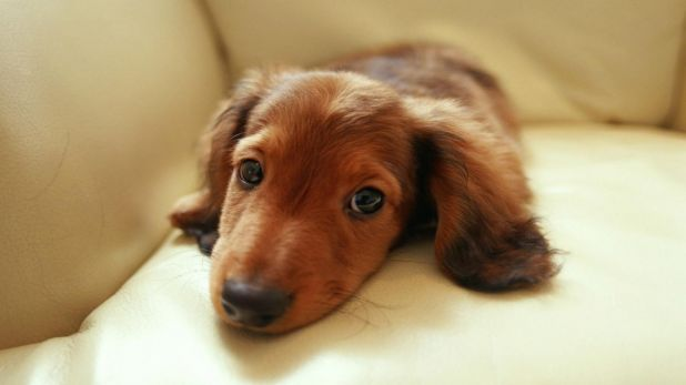 cute-dachshund-puppy-wallpaper,1366x768,42583.jpg