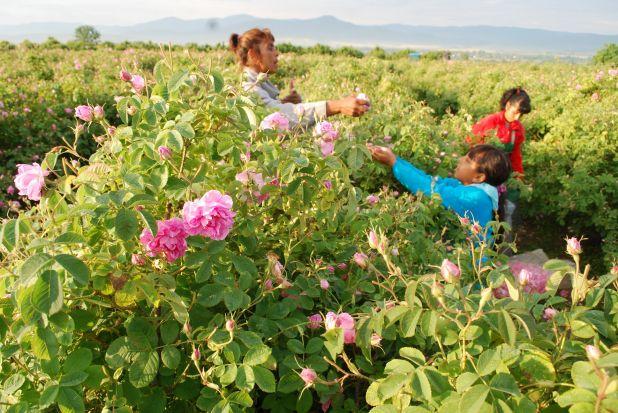 ブルガリア・バラの谷のバラ畑.jpeg