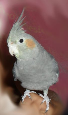Lost Cockatiel.jpg