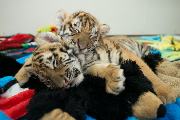 Amur Tiger Cubs 3620 - G. Jones, Columbus Zoo and Aquarium.png