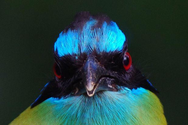 Blue-crowned Motmot.jpg