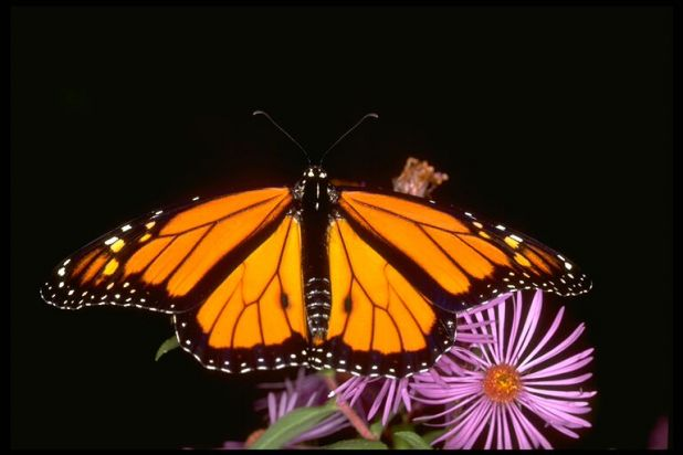 monarch on New England Aster.jpg