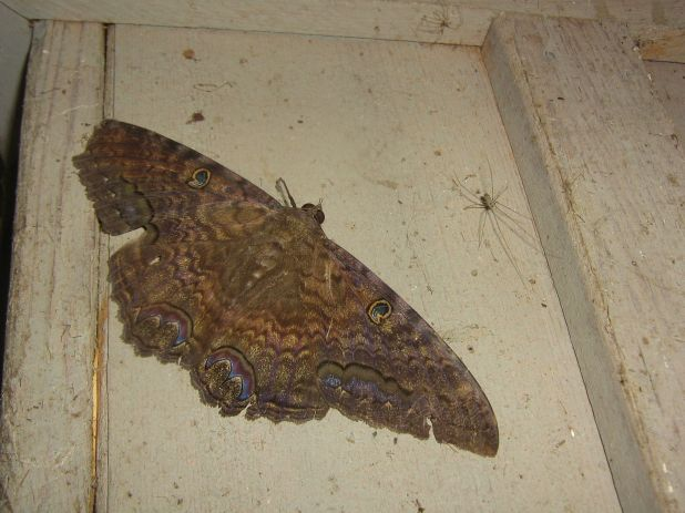 Black Witch moth 26 Sept..jpg