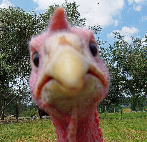 turkey_closeup.jpg