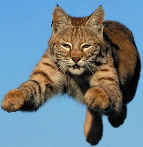 flying-bobcat.jpg