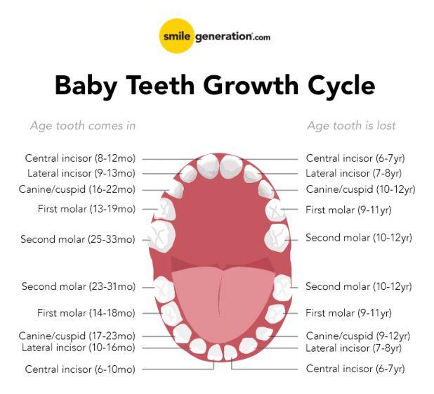 baby teeth schedule.png