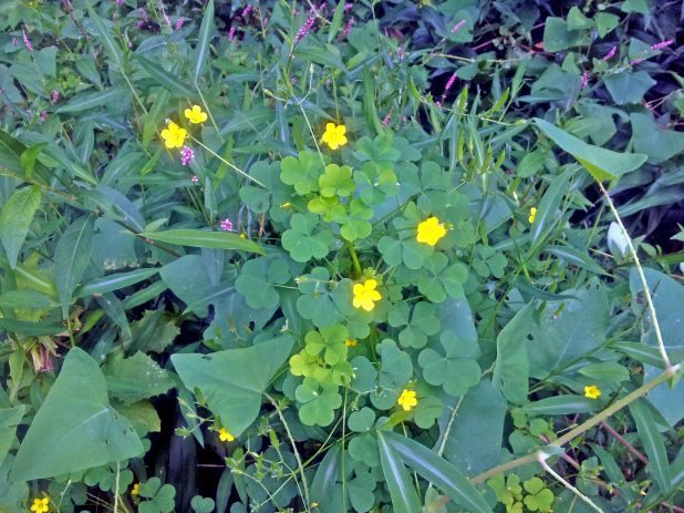 ant clover yellow weed flowers lighter.jpg
