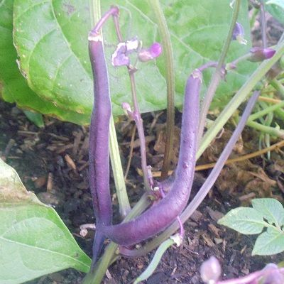 Grow These 3 Heirloom Bush Beans in Your Garden