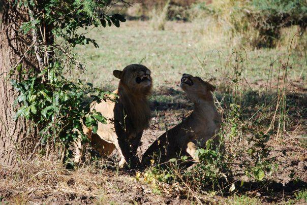 Couple lions at Chiawa Camp.jpg