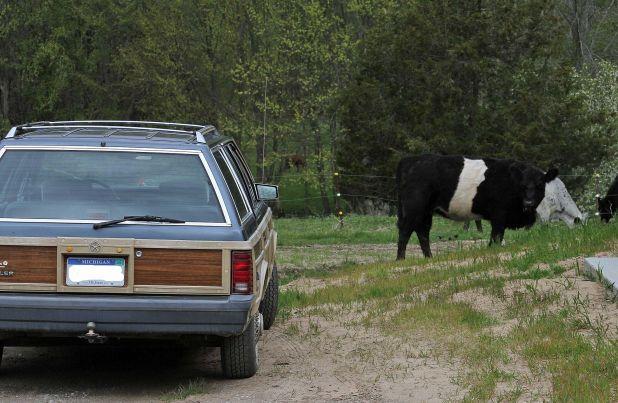 Heifers doing some edging.jpg