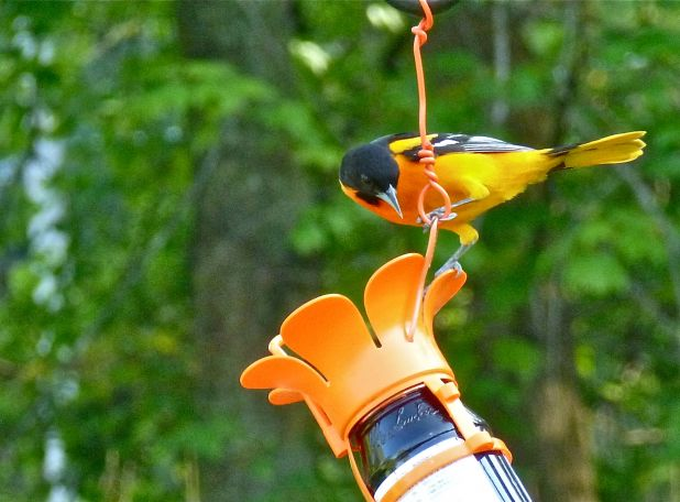 Oriole on Jelly feeder.jpg