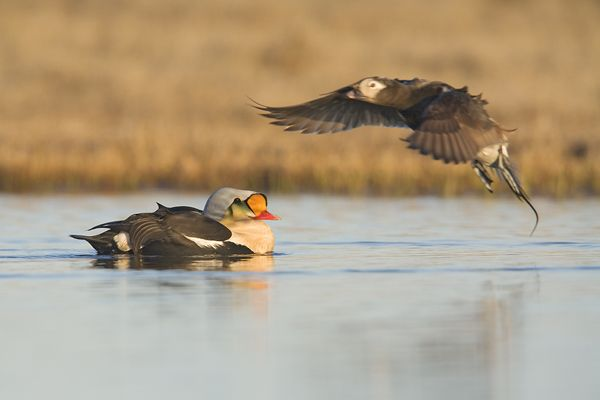 King Eiders_0026_FFSS_small_Milo Burcham.jpg