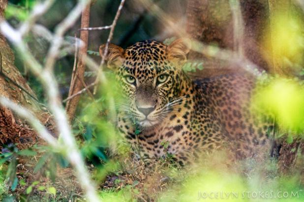 srilankaleopard.jpg