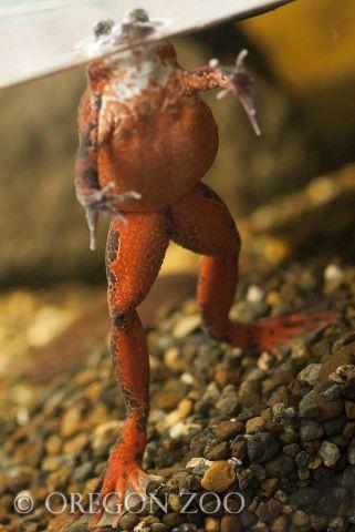 Oregonspottedfrog.jpg
