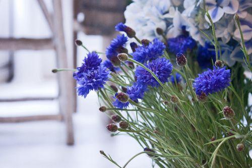 Cornflowers-in-Zita-Elze's-shop-Flowerona.jpg