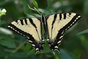 swallowtail.jpg