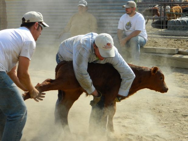 What does an innkeeper do on his day off- Cattle wrestling!.jpg