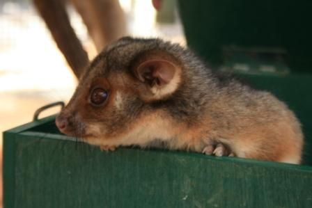 Possum at Education Centre.jpg