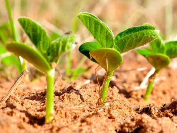 soybeans-emerging.jpg