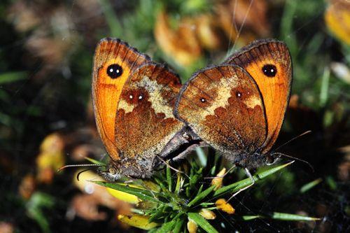 Gatekeeper-butterflies-ID.jpg