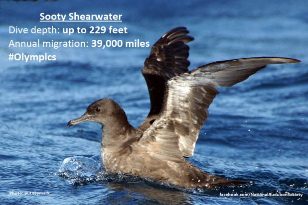 bird-olympics-sooty-shearwater.jpg