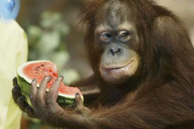 Cute animals eating watermelon in summer (015).jpg