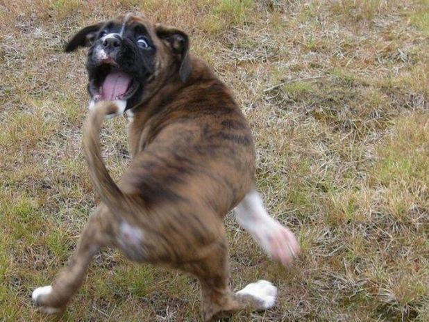 boxer catch tail caption this.jpeg