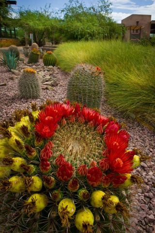 Barrel cactus Ottosen Entry Garden 9-2011-FB.jpg