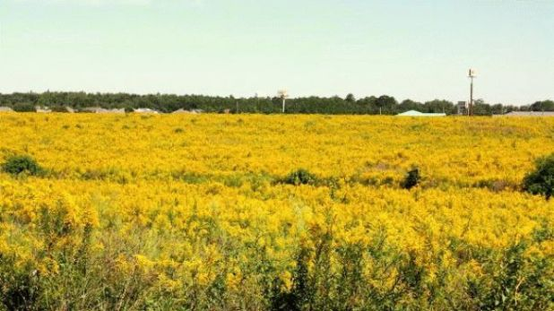 ragweed-field-al_650x366.jpg
