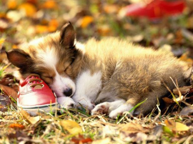 sleeping puppy with red shoe.jpg