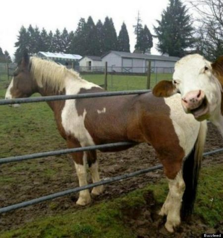 o-COW-PHOTOBOMBS-HORSE-570.jpg