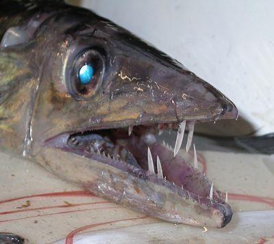 lancetfish_opt.jpg