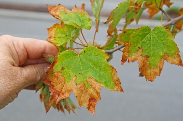 leafscorch.jpg