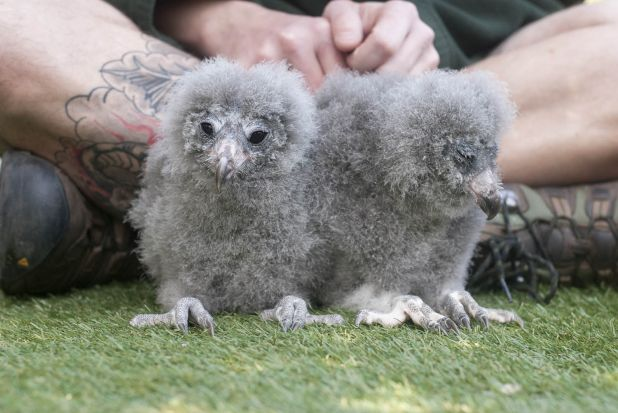Sooty Owl Chicks_Lorinda Taylor.jpg