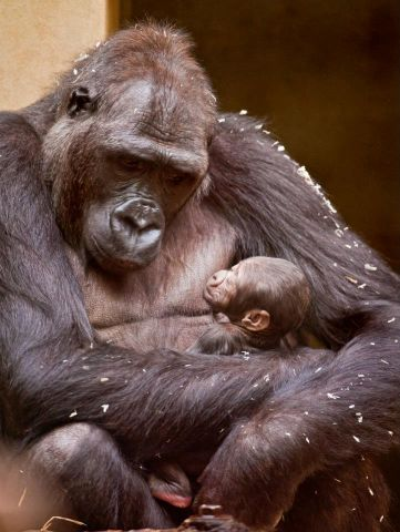 sleeping gorilla and baby 3.jpg