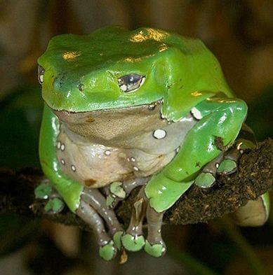Waxy tree frog.jpg