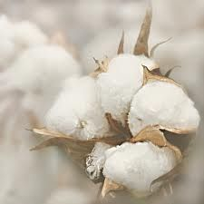 cotton boll 3.jpg