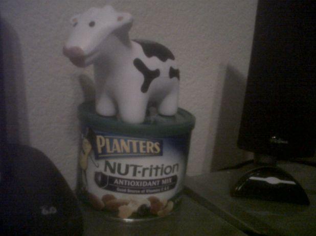 nutty cows.jpg