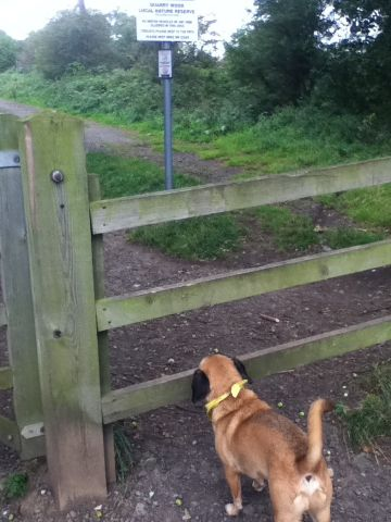 Waggy Walks Darlington - Bailey checks out the route - 2nd October 2011.jpg