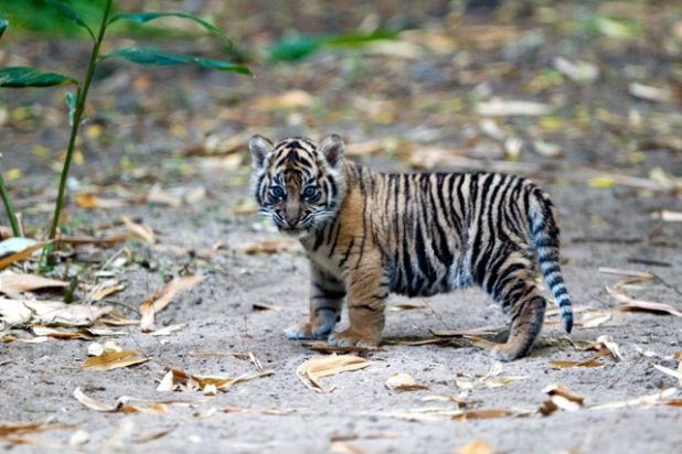 Tiger Cub_1.jpg