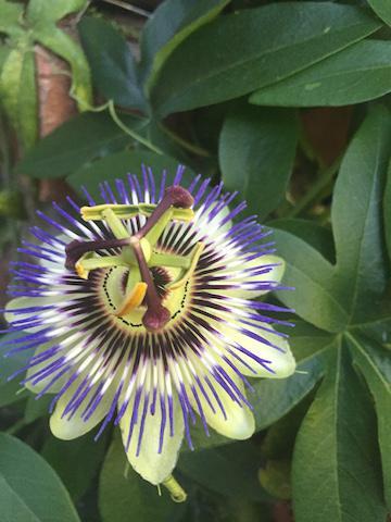 passion flower vertical .jpg