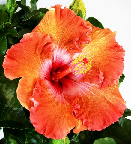 Hi res- Hibiscus Bahama Bay TM  Amazon Queen 5.jpg