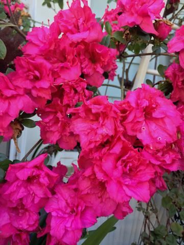 bright pink azalea.jpg