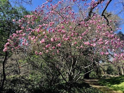 pink tulip tree in bloom.jpg
