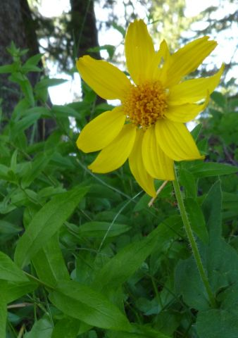 heartleaf arnica web.jpg
