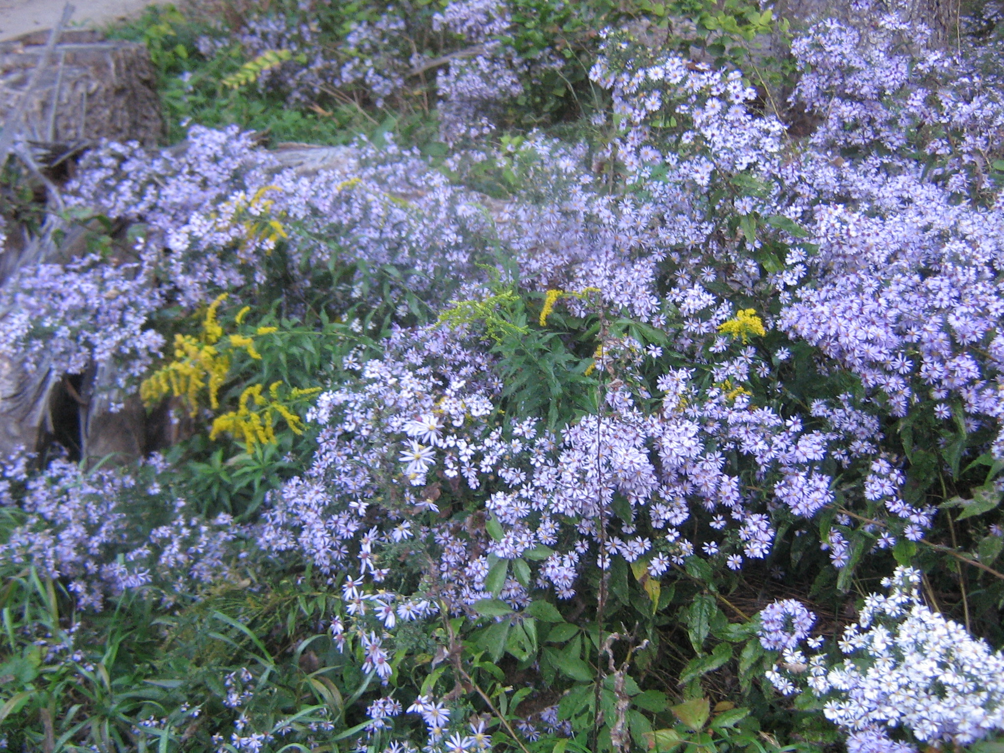 asters 9th Oct..jpg