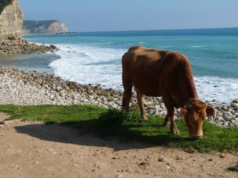 p664929-Algarve-Lonesome_calf.jpg