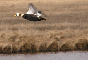 Spectacled Eider in FLight usfws.jpg